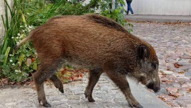 Dziki w Kazimierzu